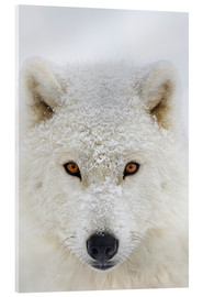 Acrylic print  Arctic Wolf - Dominic Marcoux
