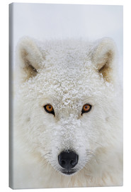 Canvas  Arctic Wolf - Dominic Marcoux