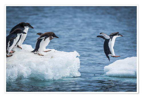 Premium poster Adelie penguins between two ice floes
