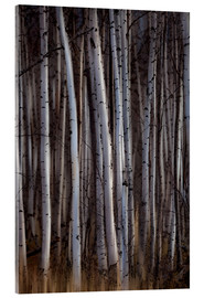 Acrylic print  Forest of birch trees - Ron Harris