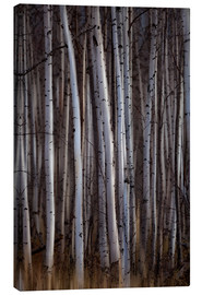 Ron Harris - Forest of birch trees