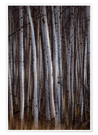 Poster  Forest of birch trees - Ron Harris