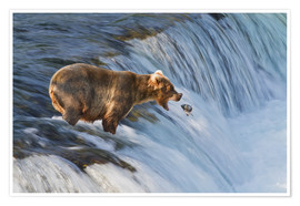 Premium poster Brown bear with jumping red salmon