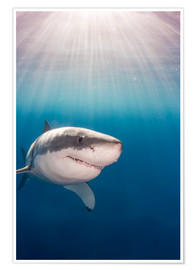 Premium poster Great white shark