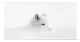 Dominic Marcoux - Arctic fox in a snowstorm