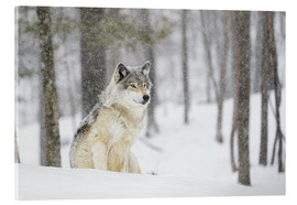 Acrylic print  philosophical wolf - Dominic Marcoux