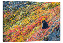 Canvas print  American black bear - Michael Jones