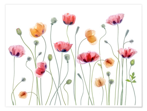 Poster Papaver Party