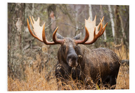 Forex  Moose in the forest - Doug Lindstrand