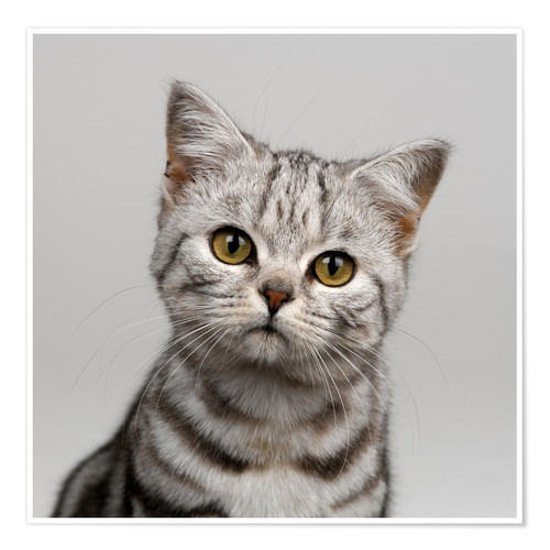 Premium poster Young silver tabby cat