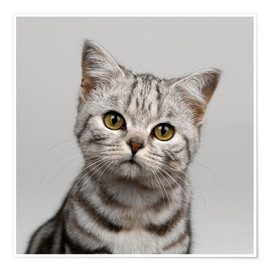 Premium poster  Young silver tabby cat - Simon Murrell