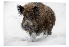 Foam board print  Wild boar - Louise Murray