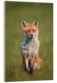 Wood  Red fox - P. Marazzi