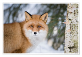 Premium poster Red fox in the snow
