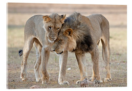 Acrylic print  African lions showing affection - Tony Camacho