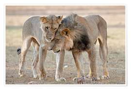 Premium poster African lions showing affection