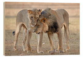 Wood print  African lions showing affection - Tony Camacho