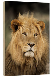 Wood print  Male lion - Peter Chadwick
