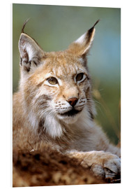 Foam board print  European lynx - Louise Murray