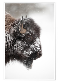 Premium poster Bison in the snow