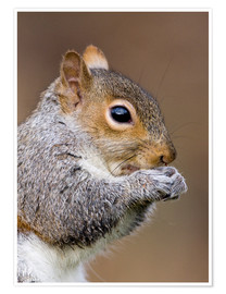 Premium poster Grey squirrel
