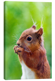 Canvas print  Red squirrel - Simon Fraser