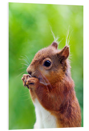 Foam board print  Red squirrel - Simon Fraser