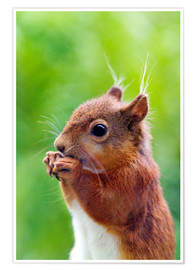 Premium poster  Red squirrel - Simon Fraser