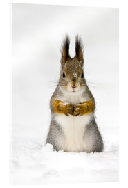 Acrylic print  Red squirrel in snow - John Devries