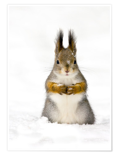 Premium poster Red squirrel in snow