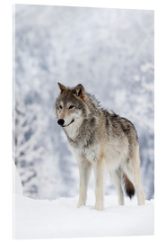 Doug Lindstrand - Tundra Wolf in snow