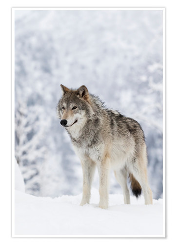 Premium poster Tundra Wolf in snow