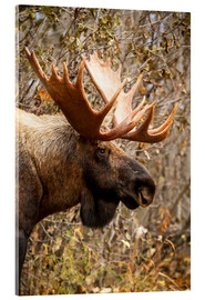 Acrylic print  Moose in profile - Doug Lindstrand