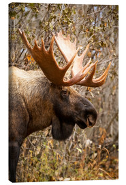 Canvas print  Moose in profile - Doug Lindstrand