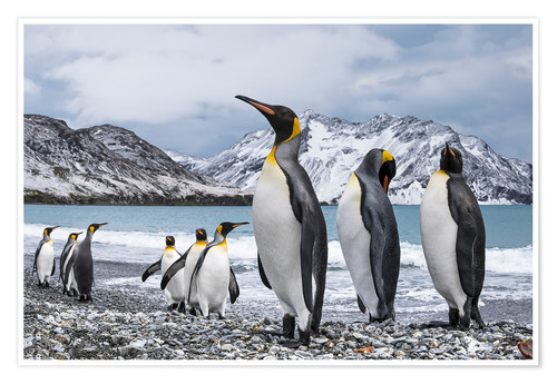 Premium poster King penguins on the beach