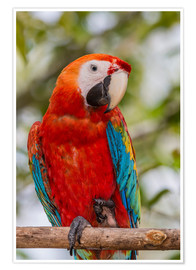 Poster Adult scarlet macaw (Macaw macaw)