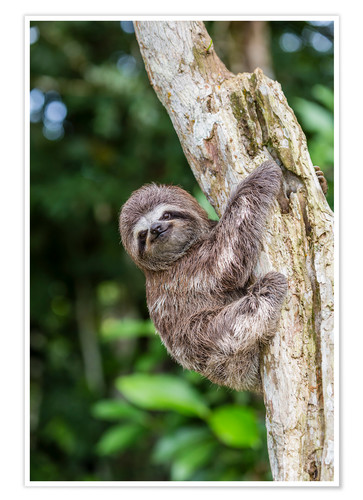 Premium poster Brown-throated sloth