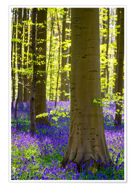 Poster Beech forest in early spring