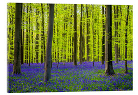 Acrylic print  Bluebell flowers in early spring - Jason Langley