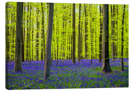 Canvas print  Bluebell flowers in early spring - Jason Langley