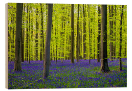 Wood  Bluebell flowers in early spring - Jason Langley