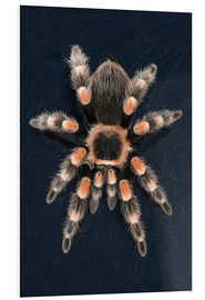 Forex  Mexican Red Knee Tarantula - Janette Hill