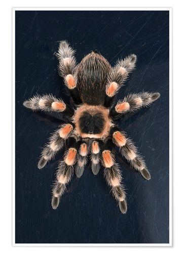 Poster Mexican Red Knee Tarantula