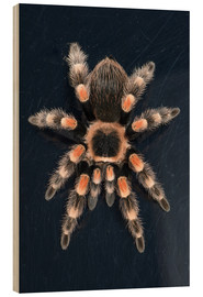 Wood print  Mexican Red Knee Tarantula - Janette Hill