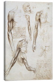 Leonardo da Vinci - Muscles of a man