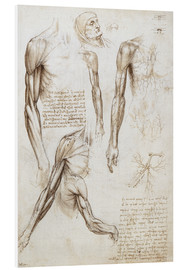 Foam board print  Muscles of a man - Leonardo da Vinci