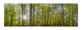 Premium poster Beech forst in spring time panorama