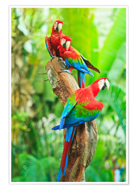 Premium poster  Group of dark red macaws
