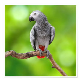 Poster  African Grey Parrot