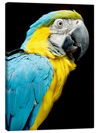 Canvas  beautiful Blue and yellow macaw